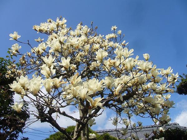 庭の白木蓮散り始め26.3.25