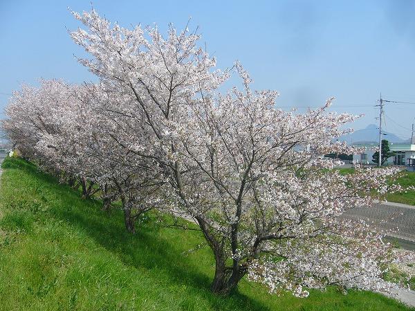 高瀬川土手の桜吹雪 26.4.9