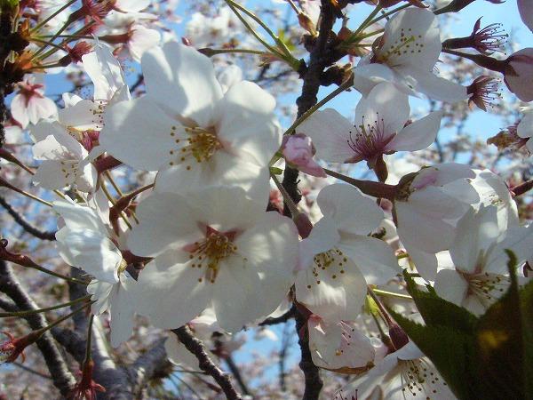 散り始めている桜の花 26.4.9