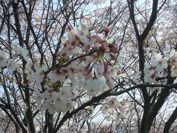 桜のつぼみも26.4.9