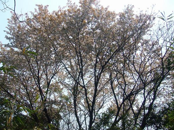 大きな山桜の樹 26.4.10