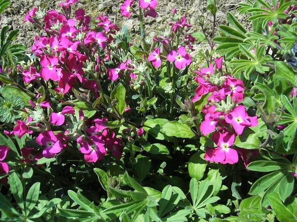 ピンクの花 26.4.15