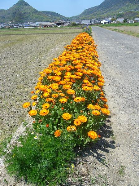 キンセンカの花たち 26.4.15