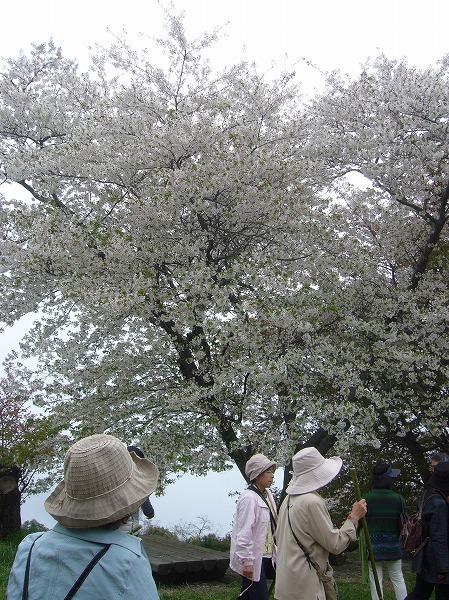紫雲出山の桜たて 26.4.16