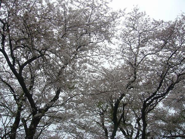 紫雲出山の桜 よこ 26.4.16