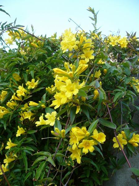 黄色いジャスミン 26.4.19