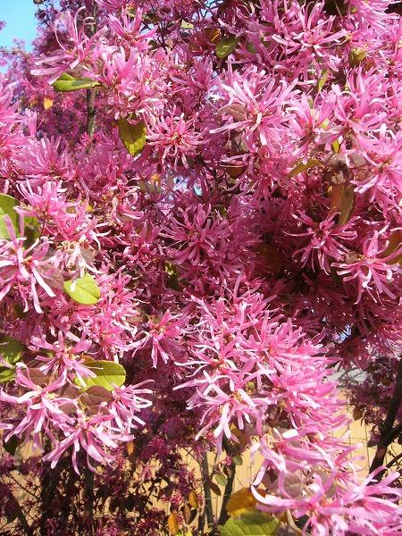 マンサクの花、色あせて 26.4.19