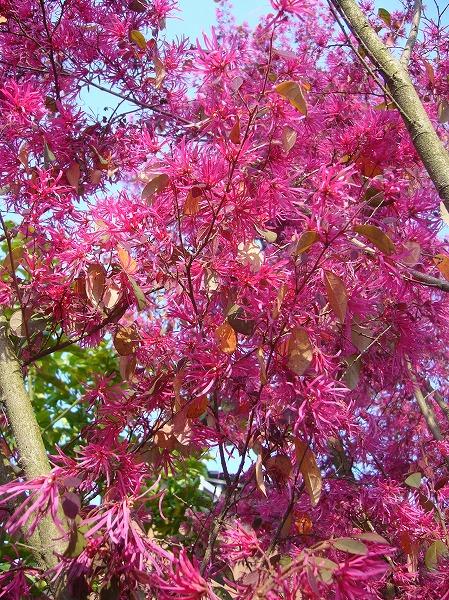 マンサクの花、まだきれいな 26.4.19