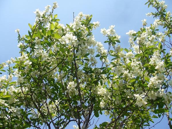白い花の木 26.4.17