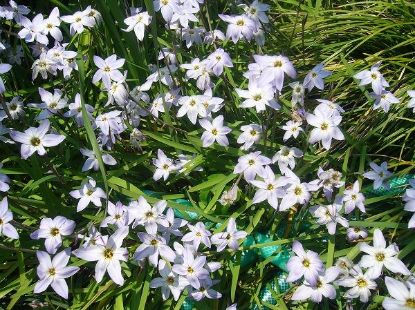 花にら 26.4.17