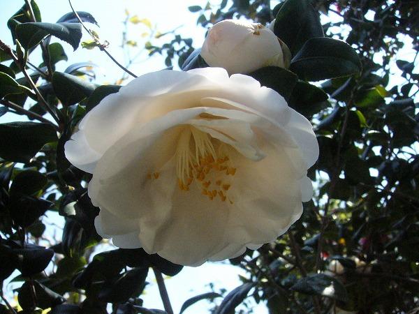 大きな花の白い椿 26.4.17