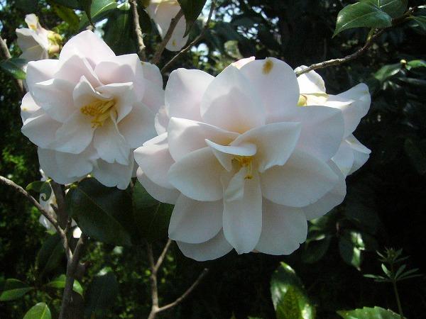 花弁がいっぱいの白い椿 26.4.17