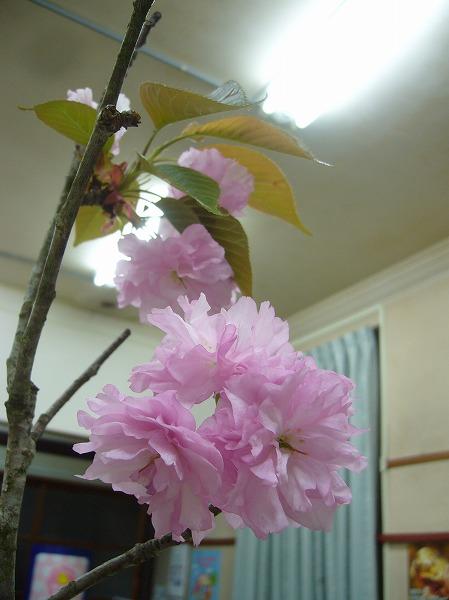ボタン桜 花瓶に 26.4.23