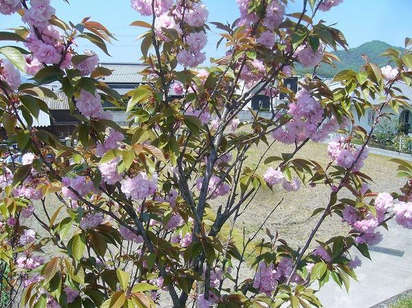 高瀬川の土手の八重桜 26.4.23