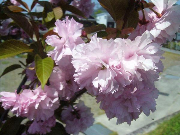 ボタン桜 26.4.23