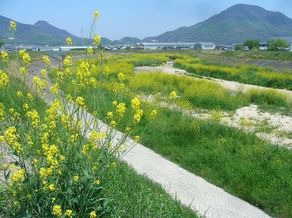 高瀬川の芥子菜満開 26.4.30