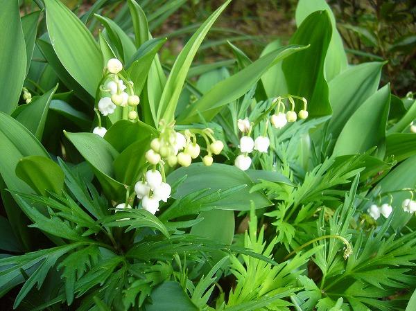 スズランの花横 26.4.28
