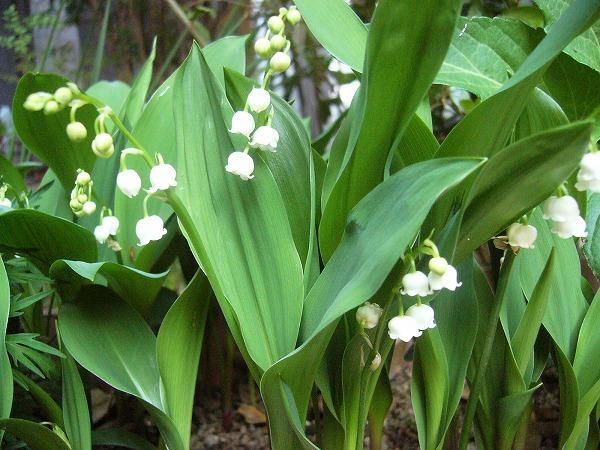 すずらんの花 横 26.4.28