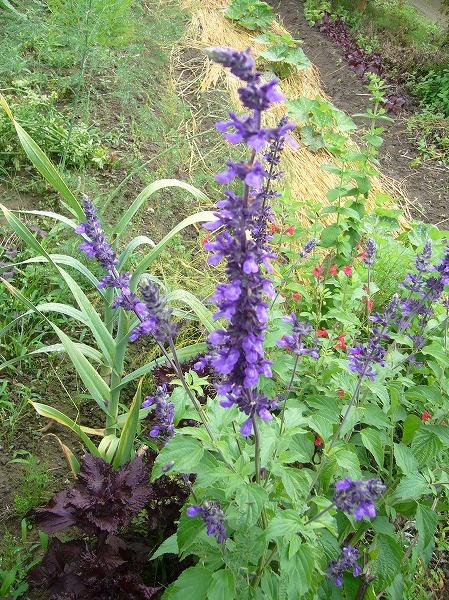 紫サルビア 26.6.11
