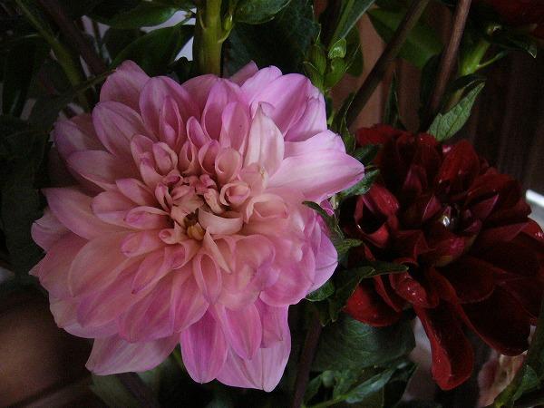 ダリアの花赤とピンク 26.6.13