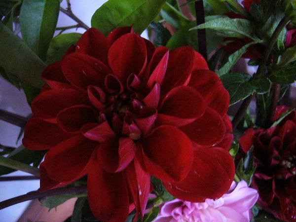 ダリアの花赤 26.6.13