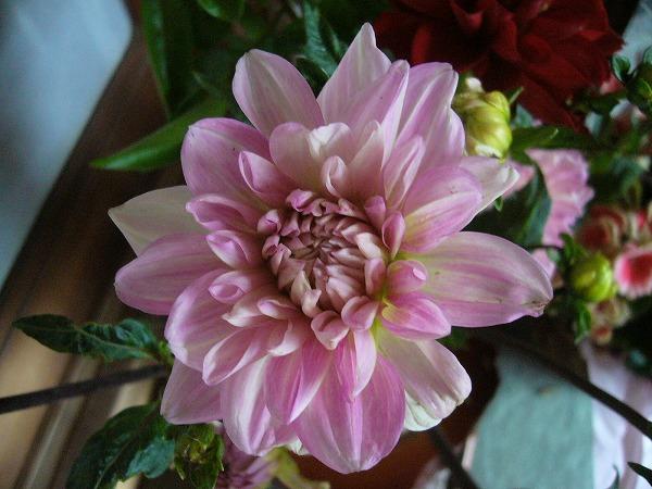 ダリアの花桃 26.6.13