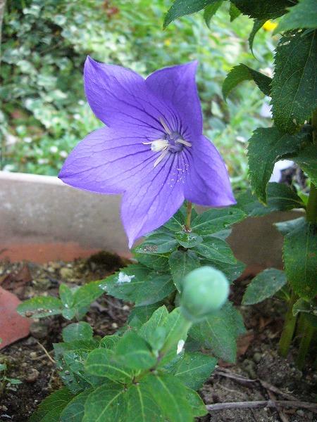 濃い紫桔梗縦 26.7.18