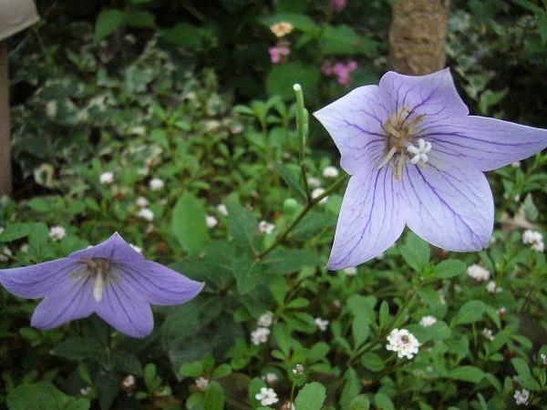 薄紫桔梗 26.7.18