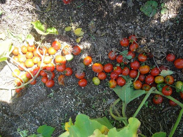 捨てられたトマト 26.8.19