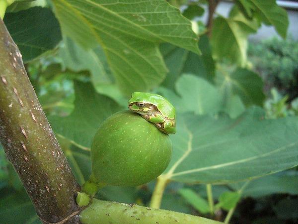 小さい無花果の実に雨蛙 26.8.24