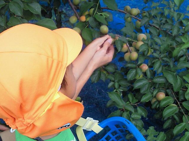 青梅収穫1