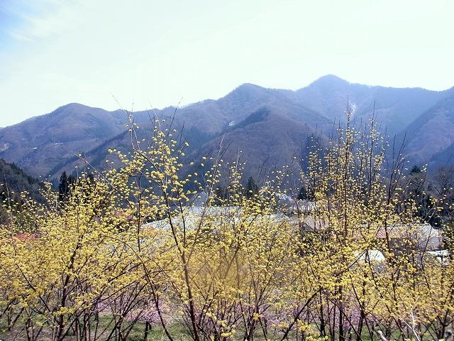☆R1047523 さんしゅゆ(春黄金花)