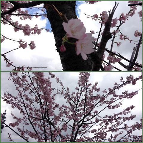 sakura_convert_20140322230913.jpg