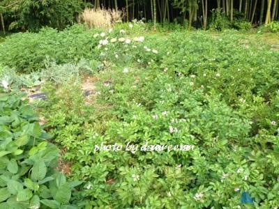 2014.6.8家庭菜園3