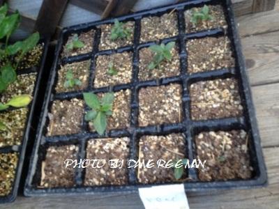 2014.6.24家庭菜園3