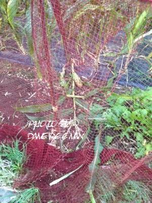 2014.6.25家庭菜園