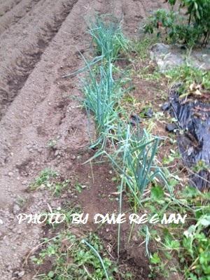 2014.9.12家庭菜園2