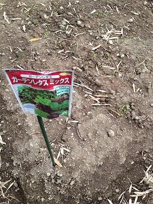2014.4.19家庭菜園13