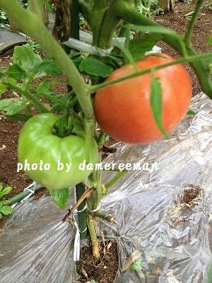 2014.7.24家庭菜園2