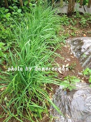 2014.7.24家庭菜園5