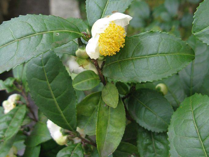 683px-Camellia_sinensis_Japan.jpg