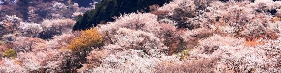 吉野山の山桜