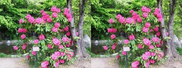 鶴見緑地公園の花⑬(交差法)