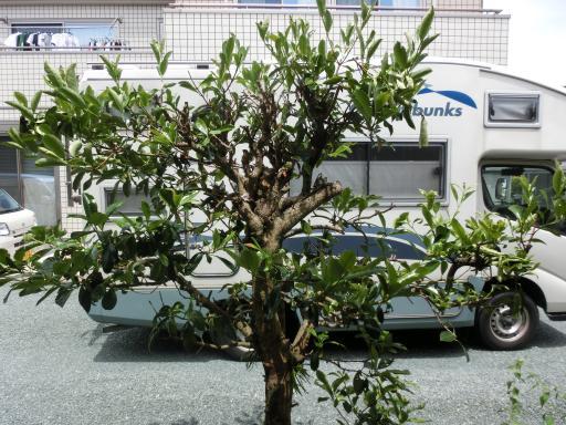 裏のサンゴ樹1