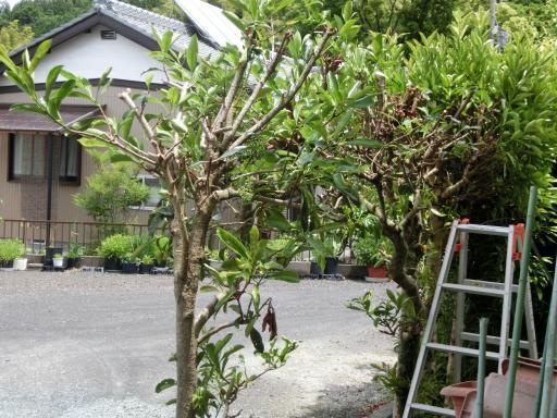 裏のサンゴ樹2