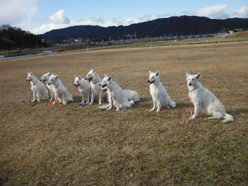 white shepherd dogs