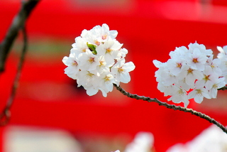弘前公園の桜 青森県 弘前さくらまつり