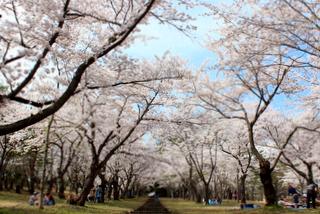 青森県 岩木山 桜林公園 桜