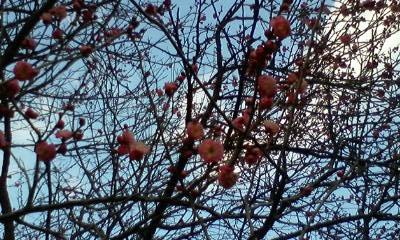 2月17日梅林公園の梅の花