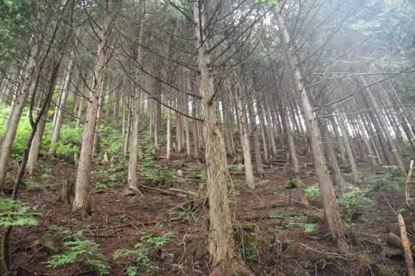 放置ひのき林